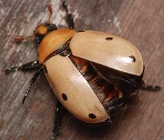 grapevine beetle (ophis) Tags: coleoptera scarabaeidae rutelinae grapevinebeetle pelidnotapunctata pelidnota polyphaga scarabaeoidea rutelini
