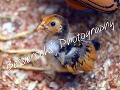 A few week old chick (Bessierocks' Photography) Tags: baby cute chicken gold zoo golden nikon farm young adorable cutie chick banhamzoo banham nikond5100 originalfilter uploaded:by=flickrmobile flickriosapp:filter=original nikonofficial