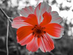 ----{  Wild Flower  }---- (stephenjones1960) Tags: flowers yards wild summer orange plants white gardens landscape day summertime wildflower lawns