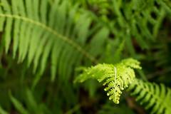 Ferns (Pamela Greer) Tags: fern green garden 50mm herbs p365