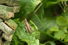 The cricket cries, the year changes (Wim Koopman) Tags: plants brick green leave nature netherlands dutch stone wall garden insect nikon focus song nederland cricket sound depth chirp goudriaan d5200