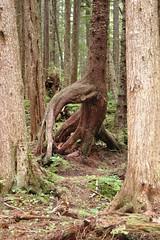 ALASKA , ICY STRAIGHTS POINT VISITORS CENTER PARK (JIMBO787) Tags: life cruise trees tree green alaska forest island vegetation jimbo lush inspiring alaskan alaskacruise alaskancruise cruisingnorthfromvancouver jimbo787 icypointalaska