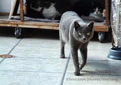 Caminar felino (Marcos GP) Tags: pet peru cat lima gato lolo mascota marcosgp