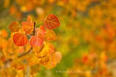 Orange (RondaKimbrow) Tags: orange green fall nature leaves yellow focus colorado bokeh aspen fall2013 rondakimbrowphotography