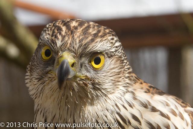 PF0295 Sparrowhawk.jpg