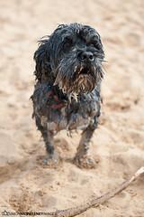 Oscar (catch_simon) Tags: dog beach dogs wet beauty sand stick fetch damp schnoodle