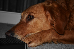 Depression sleeps on the floor (fluorescentsam99) Tags: christmas bw dog pet pets white black sadness gold grey golden moving sleep anger highlights retriever depression grump d3100