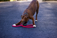 I walk myself (fj40troutbum) Tags: puppy virginia lucy boxerdogs boxer brindle 6months canon50mm18 gregholland