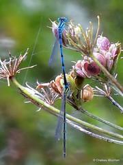 Unknown Damselflies (Chateau Moorhen) Tags: male female mating damselflies odonata whiteleggeddamselfly platycnemispennipes