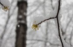 "Snow on American Witch Hazel flower • <a style=""font-size:0.8em;"" href=""http://www.flickr.com/photos/92887964@N02/12108356323/"" target=""_blank"">View on Flickr</a>"