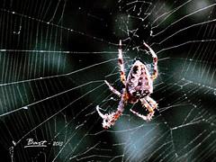 IMG_1855_Ragno (bartric - Bartolomeo) Tags: macro nature animal canon spyder ragno ragnatela
