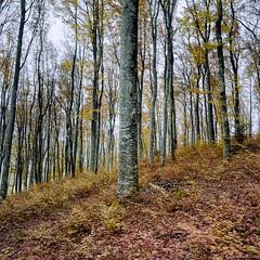 Grey Trunks Forest I (M a r c O t t o l i n i) Tags: trees color 6x6 film nature zeiss forest square switzerland suisse kodak arbres epson mf couleur fort carr vaud distagon cossonay hasselblad500cm v700 portra160 vuescan epsonv700 epsonperfectionv700 marcottolini 6x6only distagon4050mm boisdusepey