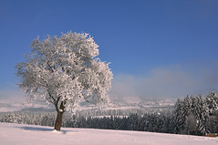 Apfelbaum in weißer Pracht  -  Apple tree in white splendor (Mariandl48) Tags: schnee winter st austria day dorf im wiese clear jakob landschaft wald steiermark apfelbaum walde wenigzell mygearandme mygearandmepremium sommersgut flickrsfinestimages1 flickrsfinestimages2 flickrsfinestimages3 pwwinter