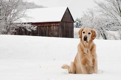 Snow Bunny (albinohawk73) Tags: winter dog snow barn goldenretriever nikon maryland leroy nikond90 vision:text=0618 vision:outdoor=0881