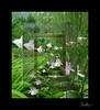 Multiplier effect. (tarelkaz1) Tags: flowers summer green garden crazy memories experiment topshots flickraward natureselegantshots naturethroughthelens sonydscs730 theoriginalgoldseal mygearandme
