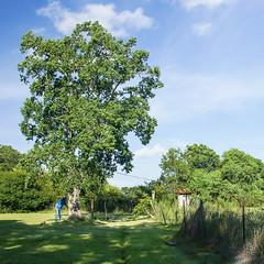 (jciv) Tags: tree video cut timber tallowtree chickentree chinesetallowtree triadicasebifera floridaaspen file:name=dsc04758