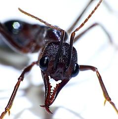 Hymenoptera Formicidae Myri h004 e P1790803 (Edithvale-Australia Insects and Spiders) Tags: head australia anatomy heads latitude longitude mebourne hymenoptera formicidae edithvale taxonomy:family=formicidae hymenopterahead 38037907 145108734