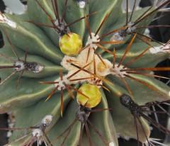 Ferocactus echidne (shoalcreeksucculents) Tags: ferocactus