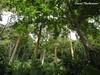 Bosque de Bucaré (Erythrina sp.) espectacular pareciendo pilares que sostienen el cielo, sobre cuales estaba creciendo la Stanhopea wardii fotografiada en los imagenes siguientes, estado Monagas, Venezuela (David Haelterman) Tags: america amérique américa tropiques tropicos tropical trópics colombia colombie sudámerica amériquedusud southamerica américadelsur orchid orchidée orquídea orchidaceae plant planta plante flor fleur flower