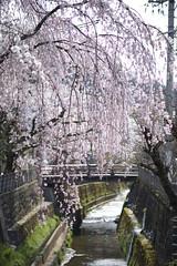 20140419 Takayama 4 (BONGURI) Tags: cherry nikon df blossom  cherryblossom sakura takayama  gifu weepingcherry       enakogawa   afsnikkor85mmf18g enakogawariver