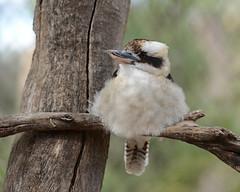 Young Kooka (PhotosbyDi) Tags: bird nature kookaburra bigbertha australianbird laughingkookaburra laughingjackass nikonf2870200mmlens d600nikon kyabramfauna