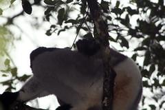 species: Indri indri. Indri - Analamazaotra National Park, Madagascar