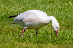 Snow Goose - left behind (tresed47) Tags: birds us geese pennsylvania content places folder takenby chestercounty 2014 snowgoose peterscamera petersphotos canon7d kardonpark 20140506chestercountybirds