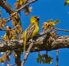 Imm. Orchard Oriole (Lindell Dillon) Tags: oklahoma nature birds oriole orchardoriole lakethunderbird oklahomanaturepics lindelldillon
