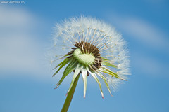 Papadie, dandelion (Arta Gabriel Baloiu) Tags: fotograf dandelion papadie navodari cosntanta