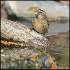 Redpoll (image 1 of 2) (Full Moon Images) Tags: bird nature forest pond farm wildlife reserve mayday thetford redpoll