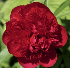 _IAW3042 (IanAWood) Tags: mygarden rickmansworth flowermacro flowercloseups flowersofspring walkingwithmynikon nikond800e nikkorsfsmicro105mmf28gvr