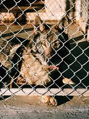 Wolf hybrid (B_r_i_d_g_e_t) Tags: prison inmates