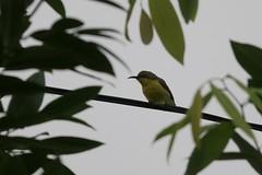 souimanga à dos vert ( Cinnyris jugularis ) ( f ) Bangkok 141230d2 (papé alain) Tags: bangkok thaïlande oiseaux olivebackedsunbird cinnyrisjugularis passereaux souimangaàdosvert nectariniidés