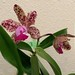 Anita's Orchid