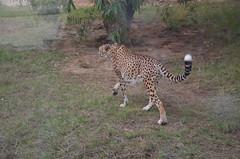 There goes the fastest land animal (oldandsolo) Tags: fauna zoo uae abudhabi cheetah unitedarabemirates bigcats carnivores acinonyxjubatus felidae zoologicalgardens emiratesparkzoo samhaabudhabi