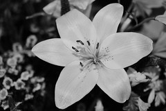 White (hcorper) Tags: blackandwhite white flower lily macromondays nikond3100