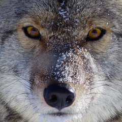 The face of the Coyote (~Bella189) Tags: bigmomma