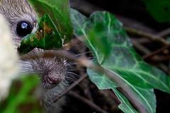 In the Wild Wood (Maskedmarble) Tags: brown rat devon brixham undergrowth