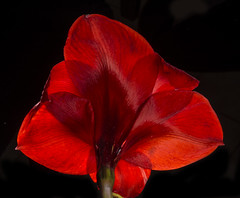 Backlit Amaryllis Flower Viewed From Behind (Bill Gracey) Tags: red flower color fleur backlight colorful glow flor amaryllis glowing backlit softbox backlighting macrolens hippeastrum homestudio filllight offcameraflash tabletopphotography yn560 roguegrid yn560ii yongnuorf603n