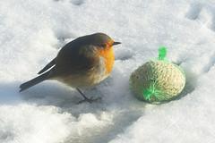 Roodborst in de sneeuw Explore 20150201 (Olga and Peter) Tags: snow robin sneeuw nederland thenetherlands roodborst wapenveld grootstokkert fp1030255