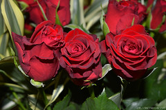 Roses (CraftDAnimations) Tags: flowers red green leaves rose closeup day valentines