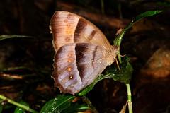 Taygetis laches cf. isis (K. Zyskowski and Y. Bereshpolova) Tags: brazil isis amazonas nymphalidae satyrinae yavari laches javari palmari taygetis