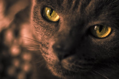 Izmail (Cozmin.Preda) Tags: art cat eyes feline warm soft bokeh ngc pentacon f18 tomcat teamsony