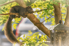 Pregnant Pause (flashfix) Tags: ontario canada tree nature animal morninglight nikon squirrel ottawa birdfeeder feeder mothernature blacksquirrel 2016 backyardphotography pregnantsquirrel d7000 55mm300mm 2016inphotos may232016