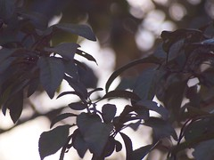 Plum Tree 20140812 (caligula1995) Tags: 2014 plumtree