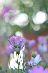 silence (S.A.photos) Tags: flowers light flower nature 50mm purple bokeh nikkor