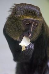Hamlyns monkey eating (Tambako the Jaguar) Tags: primate monkey hamlyns dark portrait eating vegetatble face mulhouse zoo france alsace nikon d4