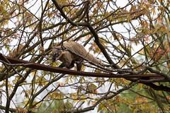 Coati on the branches (btysoe) Tags: koti coati zsllondonzoo