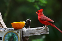 Flickr (310) (shawn53558) Tags: male rio grande texas cardinal tx palm valley lower northern sanctuary lrgv sabal