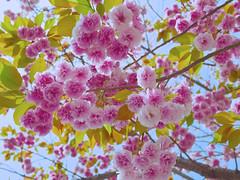 cherry_1180115 (strange_hair) Tags: street pink sky flower tree japan cherry tokyo sakura brossom